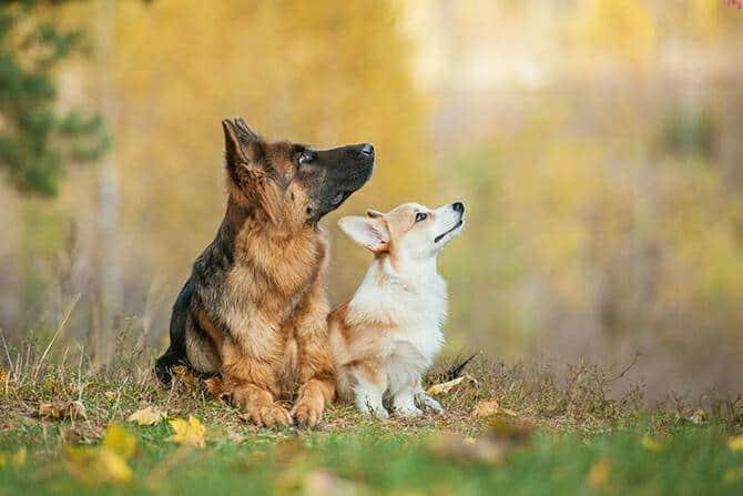 Hundetrainer Ausbildung Inhalt - Welsh Corgi Pembroke und Schäferhund im Herbst