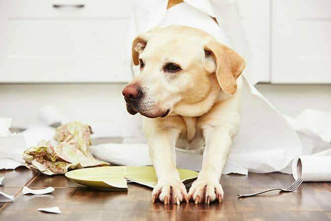 Hundeverhaltensberater Ausbildung - Labrador inmitten von Unordnung in der Küche