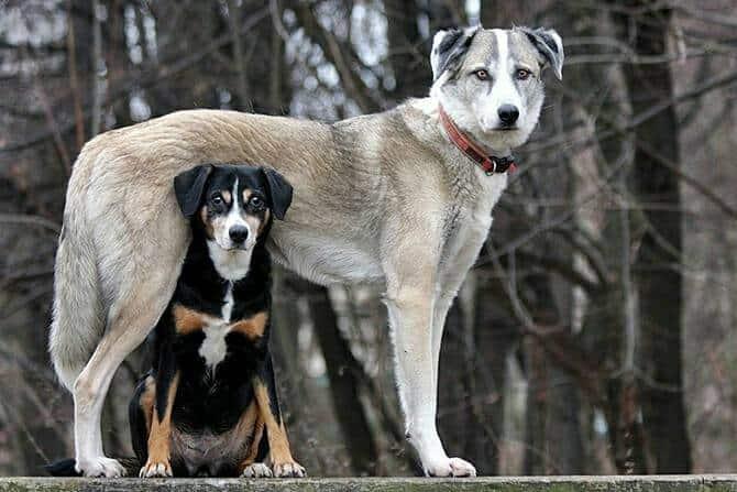 Hundewissenschaften Ausbildung - kleiner Hund steht unter großem Hund