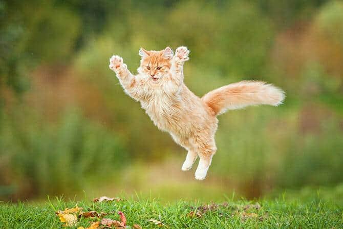 Katzenverhaltensberater Ausbildung - Katze springt auf grüner Wiese in die Luft und spreizt ihre Beine