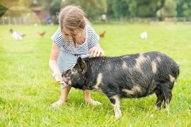 Tiergestützte Arbeit Ausbildung - glückliches junges Mádchen kümmert sich um Hausschwein auf einer grünen Weide