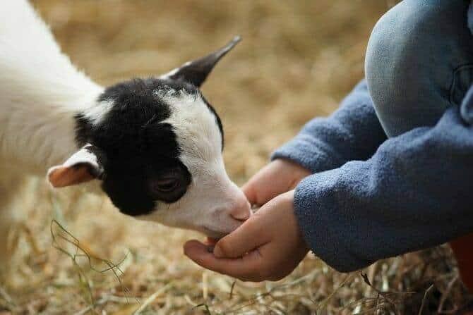Tiergestützte Arbeit Ausbildung - junge Ziege frisst aus Kinderhand