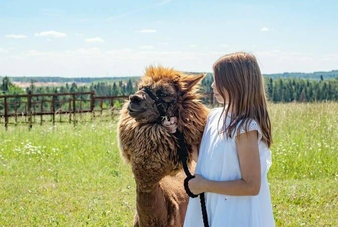 Tiergestützte Arbeit Ausbildung - junges Mädchen mit Alpaka einer Alpakafarm auf der Weide