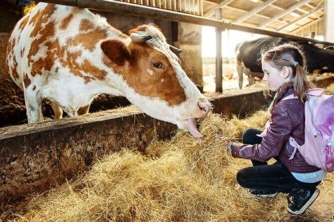 Tiergestützte Arbeit Ausbildung - Mädchen mit braunen Haaren und Rucksack füttert Kuh im Kuhstall