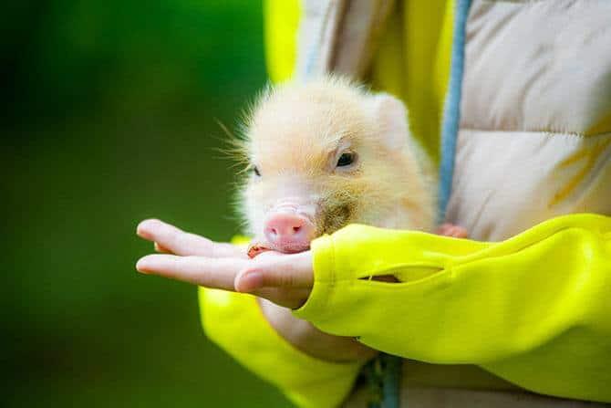 Tiergestützte Arbeit Ausbildung - süßes Ferkel frisst aus der Hand