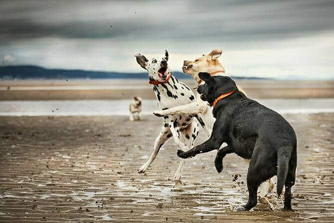Verhaltensmedizinische Tierpsychologie Ausbildung - drei kämpfende Hunde am Strand