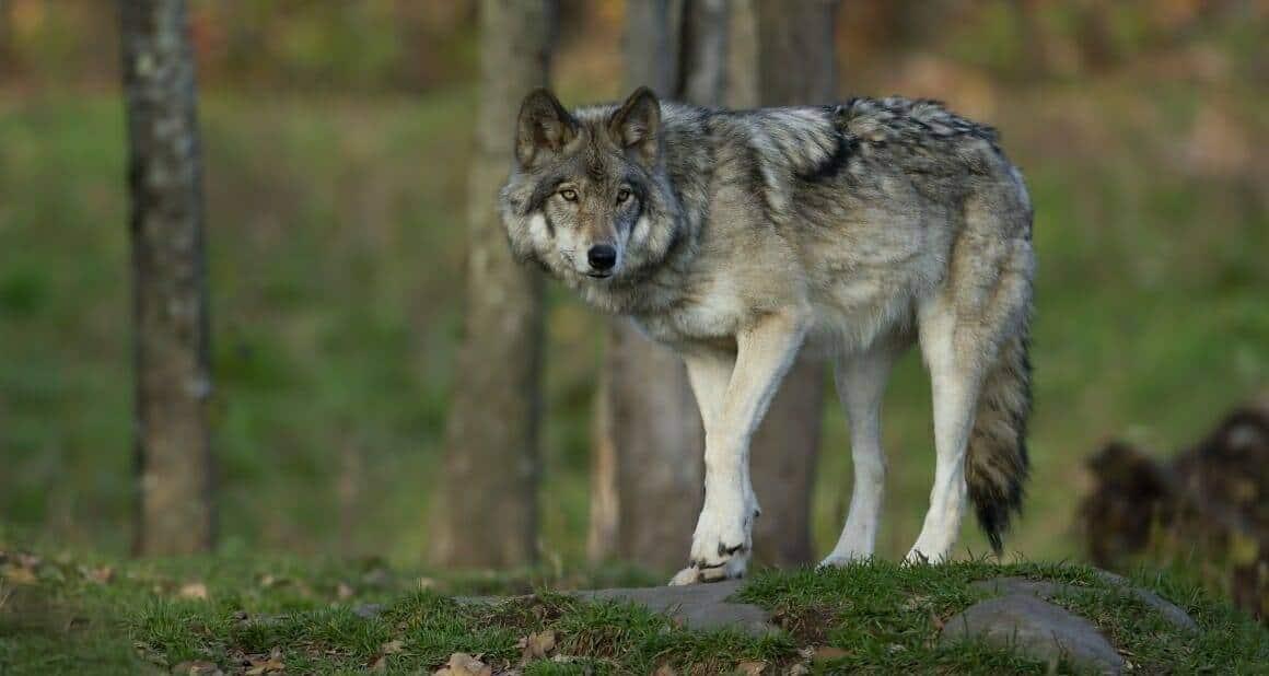 Auf den Wolf gekommen