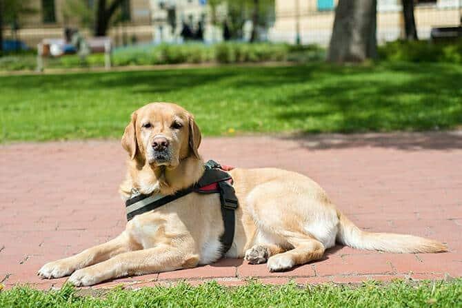 Ausbildung Assistenzhundetrainer - Labrador Assistenzhund ruht sich aus