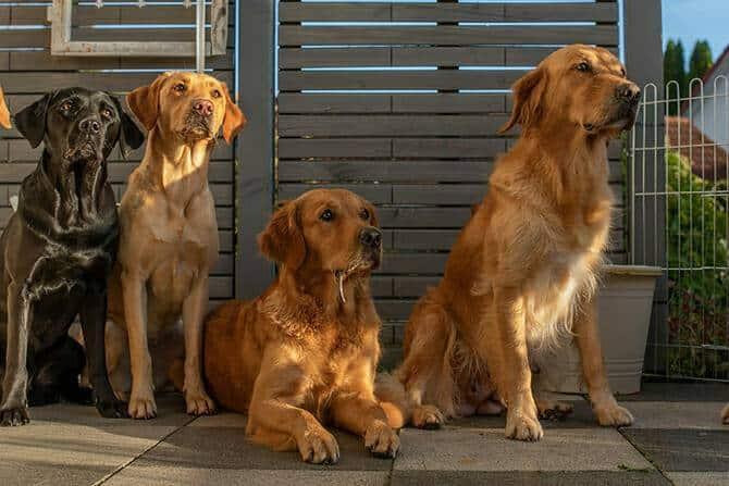 Hundewissenschaften Ausbildung - 4 Hunde auf Terrasse schauen erwartungsvoll nach vorne