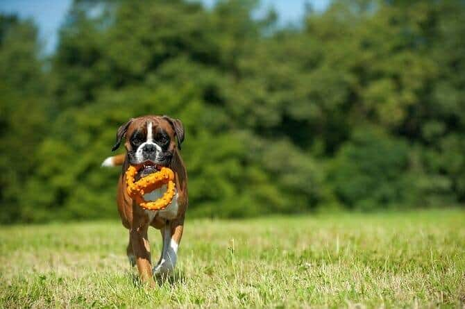 Hundewissenschaften Ausbildung - Deutscher Boxer apportiert Spielzeug