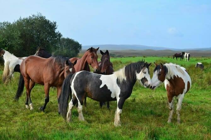 Pferdeverhaltensberater Ausbildung - in einer Herde schnüffeln zwei irische Pintos aneinander