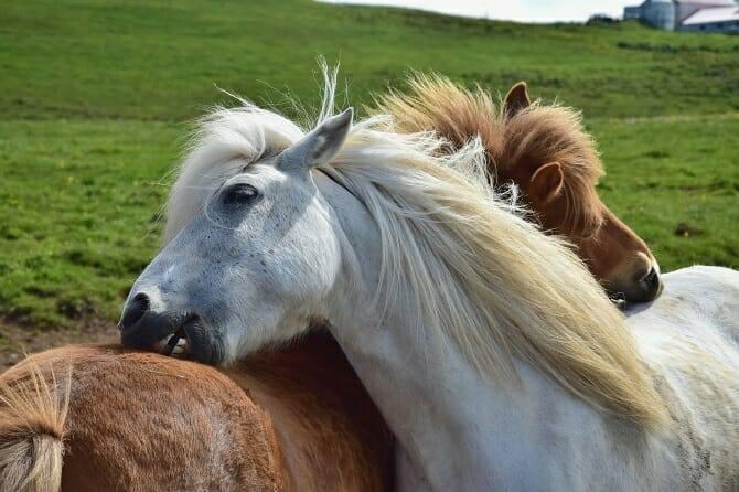 Pferdeverhaltensberater Ausbildung - zwei Isländer kraulen Fell auf einer grünen Wiese