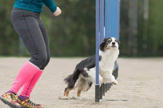 Sportwissenschaften Hund Ausbildung - Boder Collie im Slalom bei Agility Wettkampf