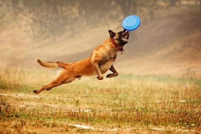 Sportwissenschaften Hund Ausbildung - Schäferhund fängt Frisbee im Sprung auf dem Feld