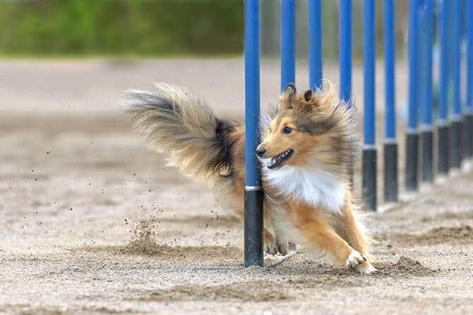 Sportwissenschaften Hund Ausbildung - Sheltie im agility Slalom