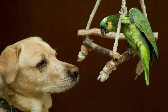 Tierpsychologie Ausbildung - Labrador freundet sich mit einem Amazonenpapagei an