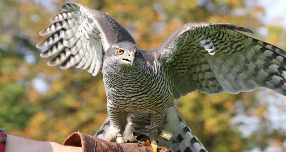 ATN-Best Practice: Der Einsatz von Greifvögeln in der Tiergestützten Arbeit