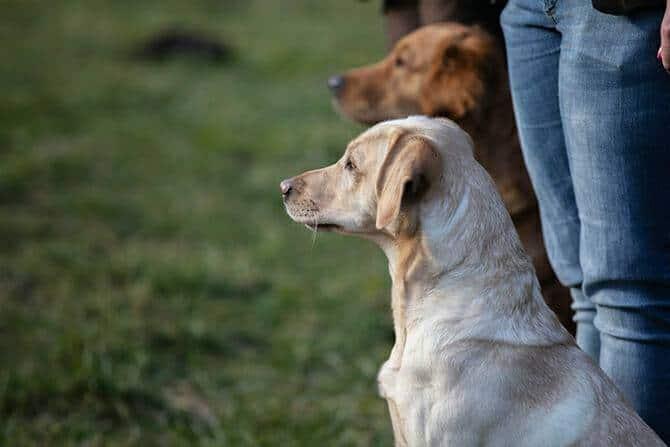 Hundetrainer Ausbildung Berufsbild - Zwei Hunde im Training mit Mensch