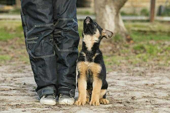 Hundetrainer Ausbildung - Schäferhund-Welpe schaut hoch zu seinem Hundetrainer