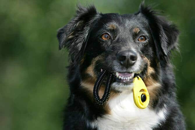 Hundetrainer Ausbildung Ablauf - Aussie trägt Clicker im Maul
