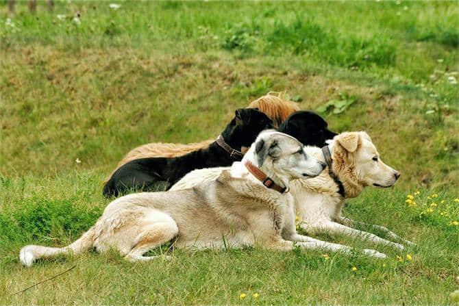 Hundeverhaltensberater Ausbildung - fünf Hunde liegen wachsam auf grüner Wiese