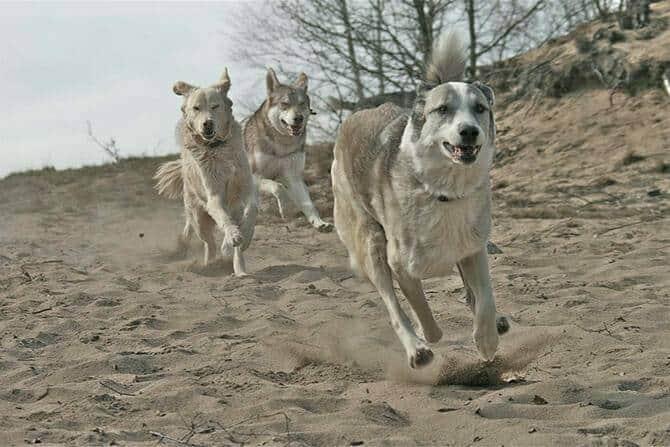 Tiererlebnis- & Eventtouristik Ausbildung - drei Hunde rennen über den Strand