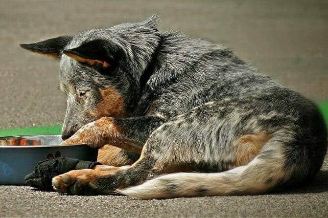 Hundeernährung Ausbildung - Hund liegt vor Futterschüssel