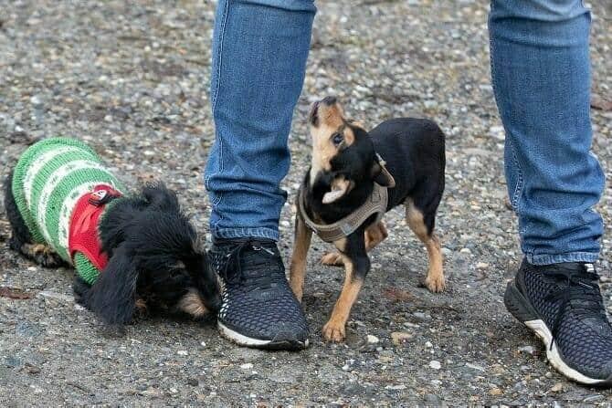 Hundetrainer Ausbildung Berufsbild - Kleine Hunde schnuppern am Mensch