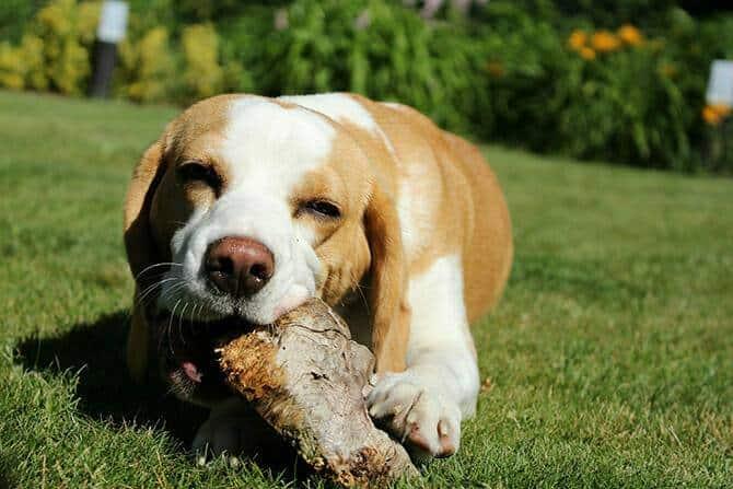 Hundeverhaltensberater Ausbildung - Hund liegt auf grüner Wiese und kaut auf einem Baumstamm