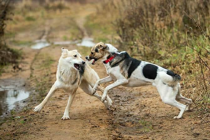 Hundeverhaltensberater Ausbildung - zwei Hunde kämpfen im Herbst auf trockenem braunen Gras