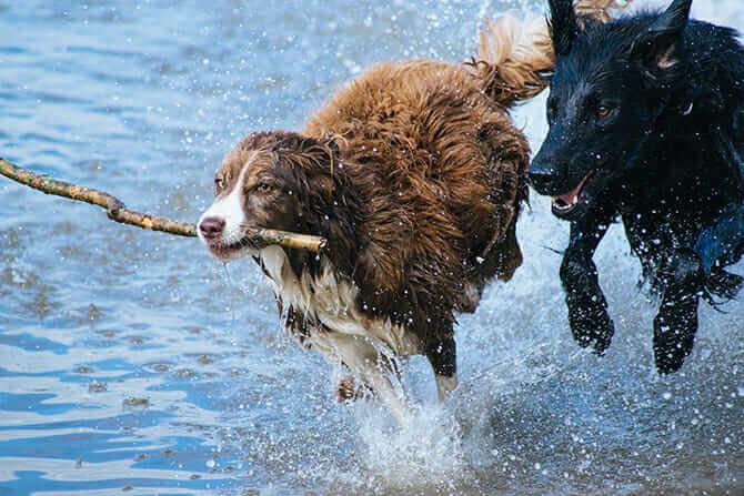 Hundeverhaltensberater Ausbildung - zwei Hunde spielen im Wasser mit einem Stock