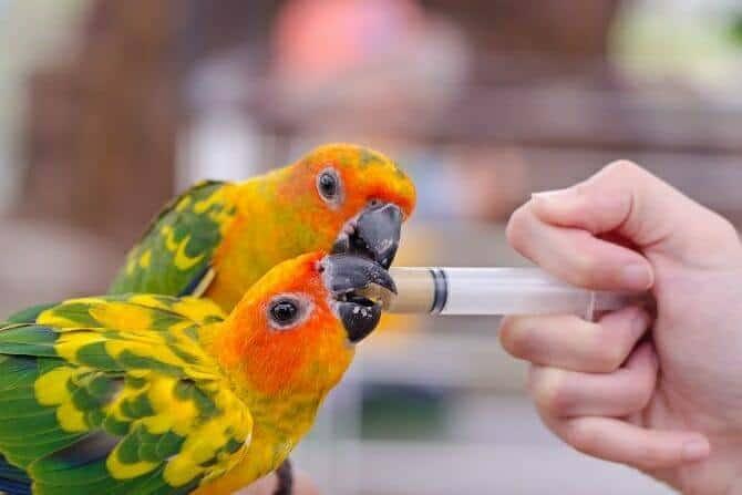 tiertrainer ausbildung frau fuettert zwei papageien mit einer spritze