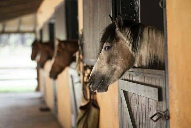 Verhaltensmedizinische Tierpsychologie Ausbildung - vier Pferde schauen aus ihren Boxen und nehmen die Umwelt wahr