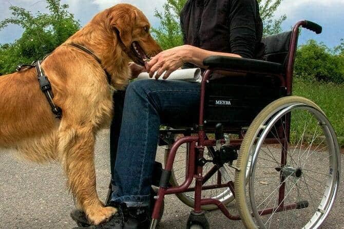 assistenzhundetrainer ausbildung begleithund steht vor frau im rollstuhl