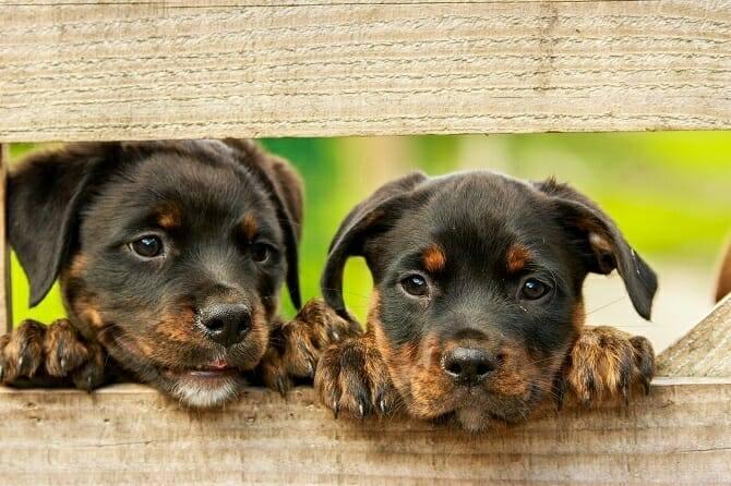 Hundewissenschaften Ausbildung - Rottweiler Welpen schauen durch Zaun