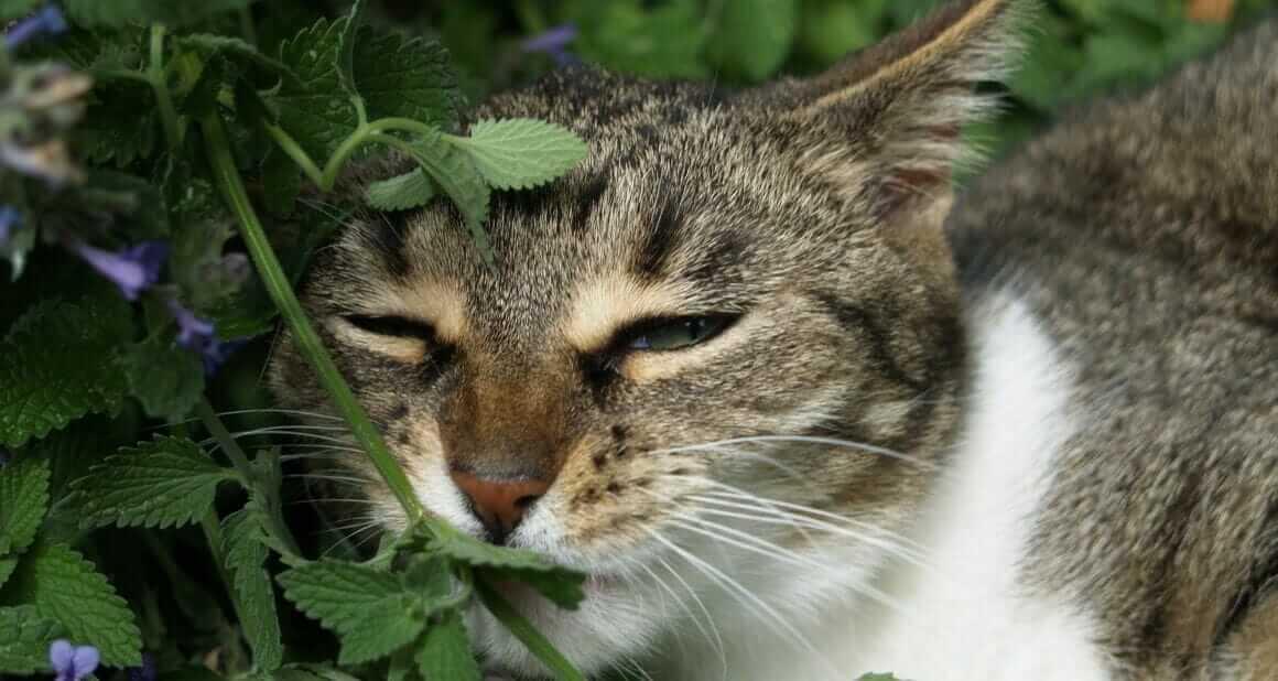 Katzen im Minze-Rausch