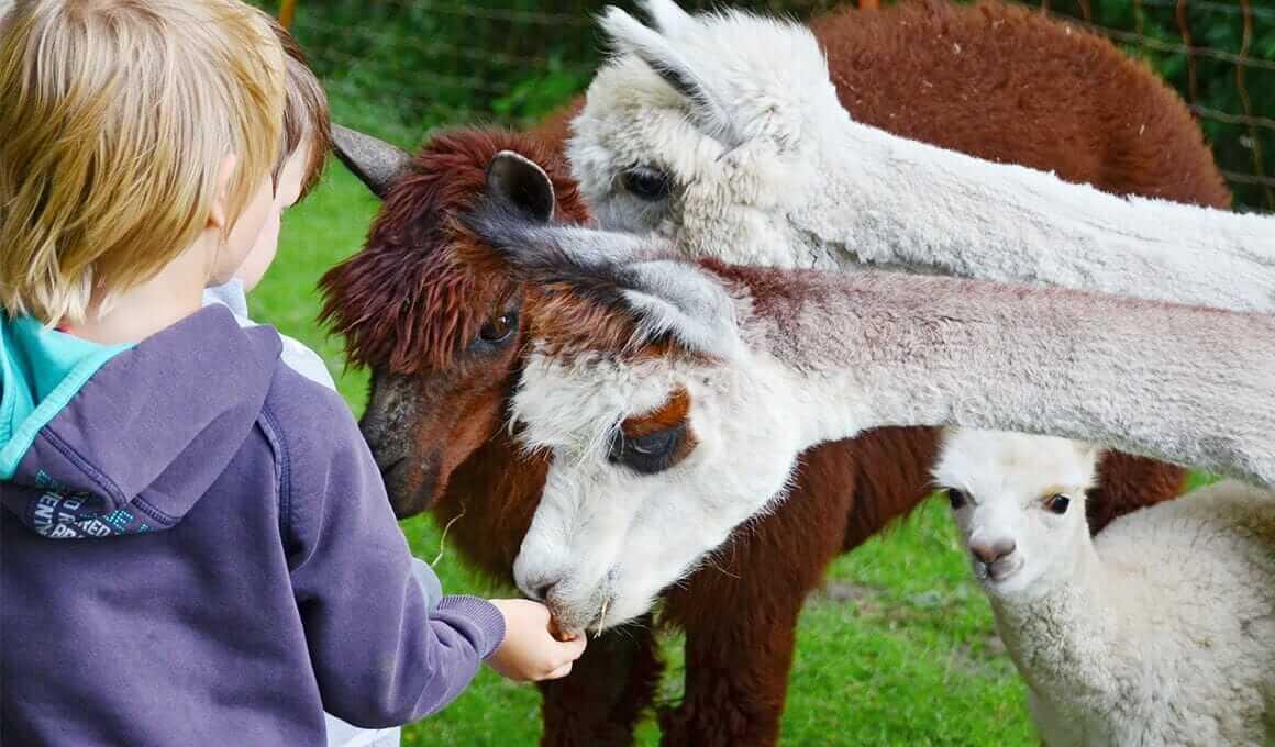 Leben Lernen - Mit Ponys und Alpakas