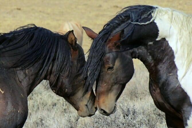 pferdeverhaltensberater ausbildung rangkaempfe wilder pferde auf trockener wiese
