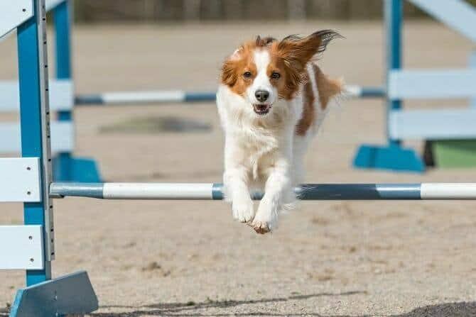 Sportwissenschaften Hund Ausbildung - Dog Agility in Action mit Kooikerhondje über Hindernis
