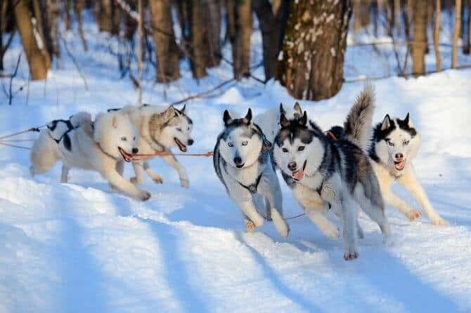 Sportwissenschaften Hund Ausbildung - Huskys beim Schlittenziehen an sonnigem Wintertag