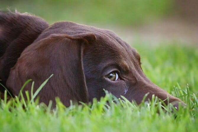 ATN Akademie Voraussetzungen - Kopf eines Labradors im Gras