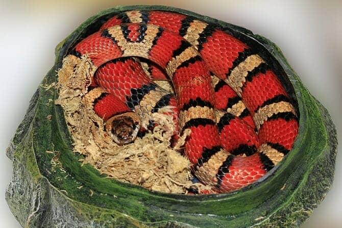 Tiergestützte Arbeit Ausbildung - Königsnatter gestreift rot