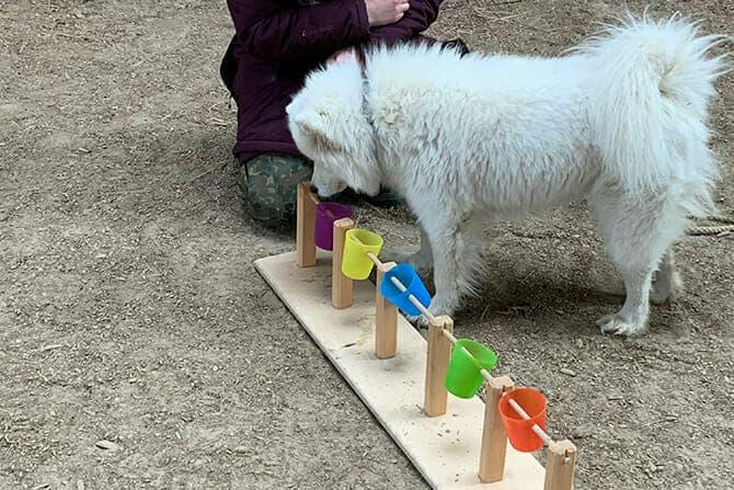 Hundetrainer Ausbildung - Training eines Samojedes mit kippbaren Bechern