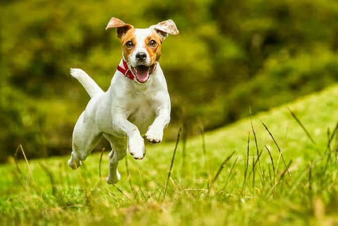 Hundetrainer Ausbildung - Jack Russel springt Kamera entgegen