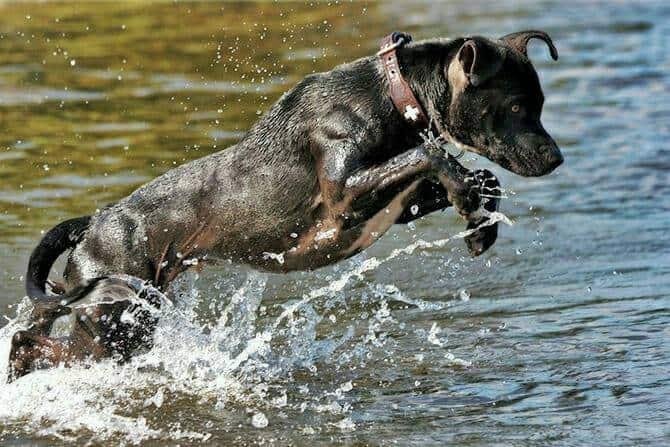 Tiererlebnis- & Eventtouristik Ausbildung - schwarzer Hund springt im Sommer ins Wasser