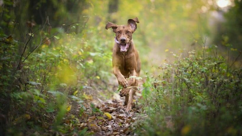 der perfekte rueckruf im wald der hund kommt freudig und schnell zum besitzer