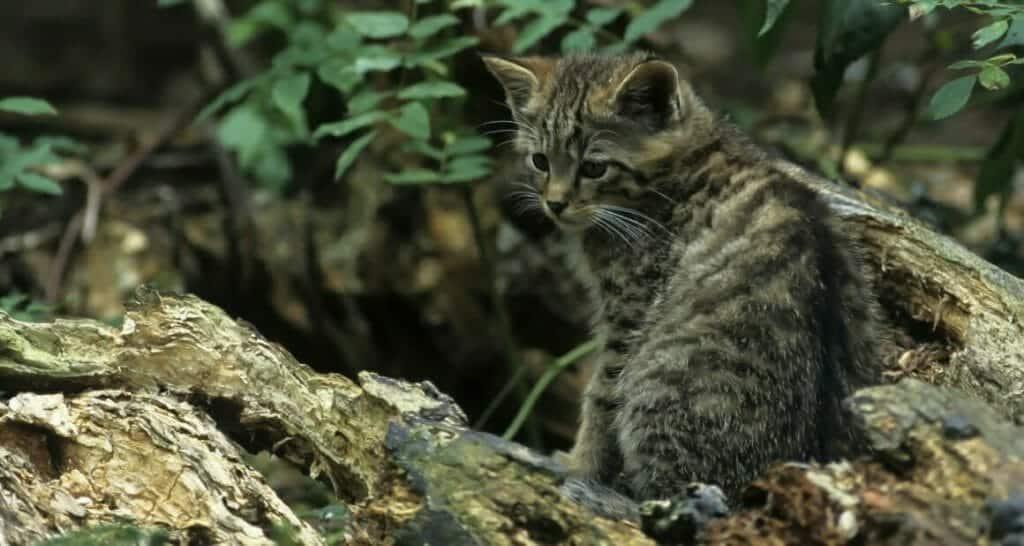 europaeische wildkatze oder hauskatze reise und naturfoto