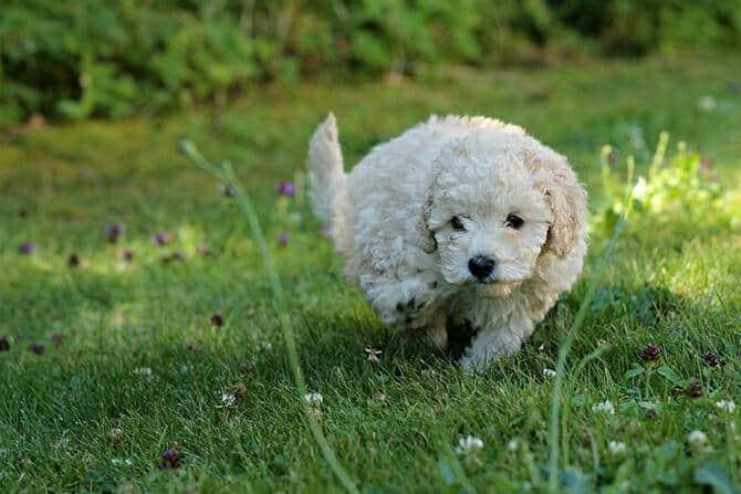 Hundeverhaltensberater Ausbildung - heller Hund läuft neugierig über grüne Wiese