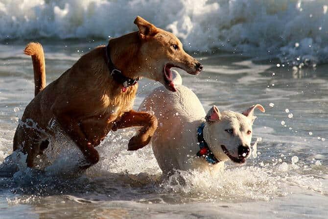 Hundeverhaltensberater Ausbildung - Hund jagt im Meer einen anderen Hund
