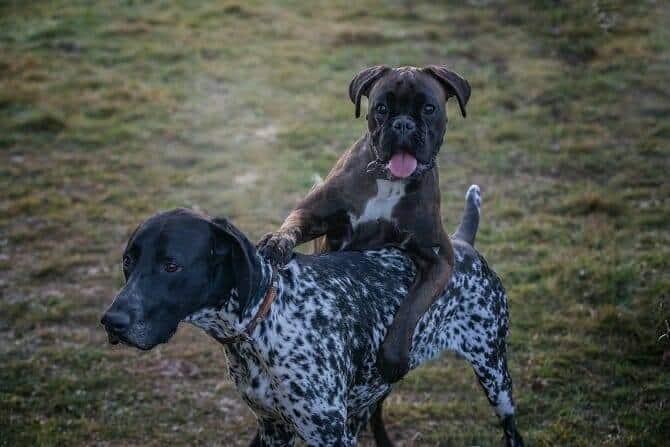 Hundeverhaltensberater Ausbildung - Hund steigt auf anderen Hund auf einer Wiese